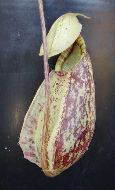 Nepenthes Rafflesiana